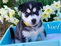 Syberian Huskies are ready for adoption They are 13 weeks old had their vet check-up  2 puppy vac
