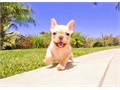 Noni is an AKC registered female French Bulldog She is up to date on her vaccines and vet checks an