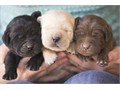 Labrador Retriever Male Female Small  80000 They are ready to go come for your pick today or