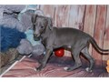 Italian Greyhoun Pups BoyGirls  10weeks old  vaccinated and come papers interested Textcall 51