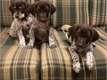 beautiful babies are ready for new homeMy GSP pup is Well trained good around new people and come