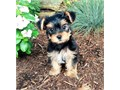Yorkie puppies up for adoption for more info and pics please call or send text to 4355150895 thanks