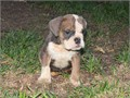 i have 3 mini English Bulldogs available 2 girls 1 boy they are 3 months but the size of an 8 w