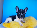 black and white french bulldog 562-367-3520CALL TO MAKE AN APPOINTMENT PARENTS ON SITEDOB 530