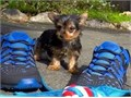 yorkie will play fetch for hours Both love walks and are crate trained and shar