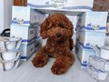 Cute and smart baby toy poodle puppy available now