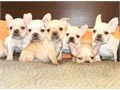 FRENCH BULLDOGS PUPPIES FOR SALE  ADORABLE PUPPIES MALE AND FEMALE YOU WILL FALL IN LOVE  SHOTS A