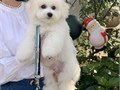 Good  quality Bichon Frise puppies They are well raisedpotty trainedvet check