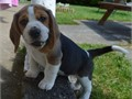 Gorgeous Beagle Puppy 10 Weeks old female Regularly wormed current with shots and deflead Very f