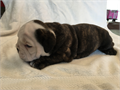 AKC English Bulldog puppy available last female of the litter Born 040516 will be available June