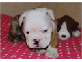 English Bulldog Puppies One male and two females available from a litter of seven  Ready to go home