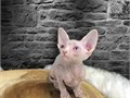 Determined Sphynx Kittens for Sale healthy and playful kittens top quality kittens Contact now at