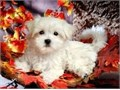 We have Two Healthy Teacup Maltese puppies for adoption They are very beautiful 12 weeks old will
