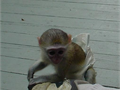 Sweet And Good Looking Capuchin Monkey For Sale text 617 843-4287 for more information