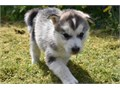lovely litter of Siberian Husky now ready to go to new homes puppies are 10 weeks old and pure bree