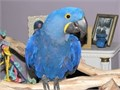 Tamed female Hyacinth Macaw looking for a new home due to changes in circumstance 9 months old She