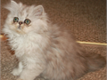 Beautiful SILVER SHADED PERSIAN kittensReduced priceSweet and Playful personality9 wee