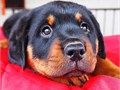 Adorable Rottweiler PupsAdorable Rottweiler pups for searching for loving home Very lovely an