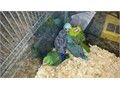 Handfed baby parrotlets blue males and females green female