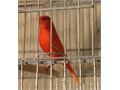 Beautiful read Canaries for sale Males and females ONLY SHOW QUALITY IS LEFT 150 ea 323-428-110