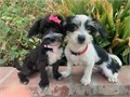 Schnoodle Puppies SchnauzerPoodle Mix 1 Female 1 Male 4 Months old Puppys are Hypoallergenic s