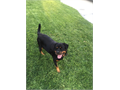 One 4 months old pure breed German female Rottweiler sold as a pet Crate trained with some potty t