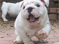English Bulldog Pups for  sale Big Hoss is available