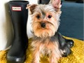 Yorkshire Terrier Male Cute as can be Kris Kringle is 7 mos old current on vaccines sweetest