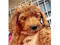 8 week standard F1BB standard goldendoodle puppies will be to 60lbs Black red