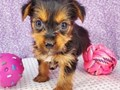 lovely and healthy Female Teacup Yorkie Puppy for re-homing if you are interested pls do contact me