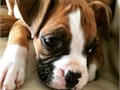 We so pleased to announce that our gorgeous Boxer has self whelped 4 very healthy puppies  2 boys an