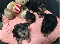 Purebred tiny teacup Yorkie puppies Have you been thinking about a new puppy fo