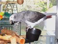 We have an African grey up for rehoming  healthy happy boy his diet consists of pelllets fruit v