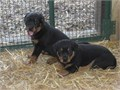 Rottweiler  puppies 100purebred both Male and femalevet check litter traineddewormed fl