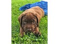 We have a beautiful litter of Gorgeous Labrador Retriever Puppies looking for fo
