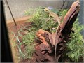 Baby green basilisk comes with whole set up terrarium light water and food dishes substrate and
