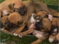 AKC Boxer Puppies Fawn with monkey facesDOB 3-13-17 UTD on shotsReady for their forever homes