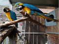 Proven breeding pair of blue and gold macaws Male 9 yrs female 7 yrs very talkative and used to peop