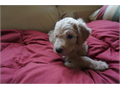 Hi we have 4 Darling Golden-doodle pups left out of 7 and going fast Great Bloodlines and smart too