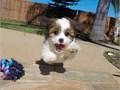 Female Teddy Bear Puppy!