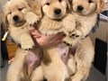 Golden Retriever Puppies AKC Health guarantee Puppies NowPure breed Golden Retriever Puppies rea