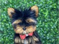 Teacup Yorkie Puppies for rehoming They are currently 11 weeks old They are ready to go home Reserva