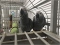 steve and cindy- Our African grey parrot is for salethey are 1years old they are VERY friendly