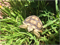 We have healthy baby sulcata eating fresh greens getting calcium 3 times a week they are very active
