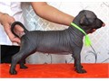 Adorable Stunning xolo puppies for sale Puppies will be health checked microchipped  wormed  fle