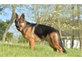 Hi stud service available from this amazing loyal healthy protective and kid friendly German Sh