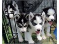 Cute and Adorable siberian husky Puppies for AdoptionWe have two amazing siber