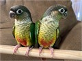 4 week Tamed Green Cheek Conure for sale 400 FINAL PRICE If interested contact me at 213-819-6258