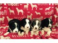 AKC Reg Border collie Pups Excellent bloodlines 3 black and white males 1 blue and white male D