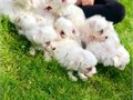 We have two dogsone male and one female beautiful special Maltese Puppies for your family They ar